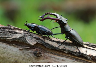 Lucanus cervus male and female