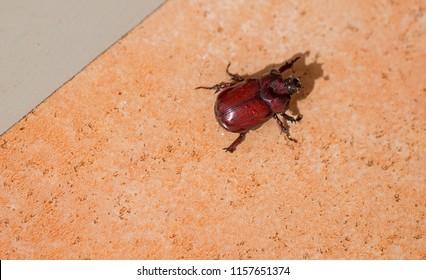 Lucanus cervus, stag beetle.