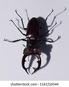 Lucanus elaphus, giant stag beetle