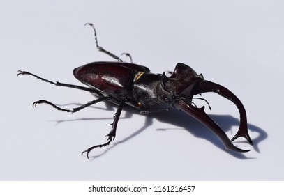 Lucanus elaphus at the University of Mississippi Field Station
