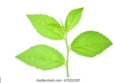 Paddy's lucerne, Queensland hemp, Arrowleaf sida, Common sida, Cuba juite on a white background