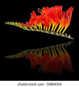 Lucifer - Mont Bretia (Crocosmia) Iridaceae - With Reflection Image
