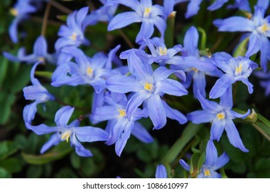 Lucile's glory-of-the-snow or chionodoxa luciliae blue flowers close up