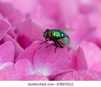 Lucilia sericata, the common green bottle fly on pink hydrangea flowers