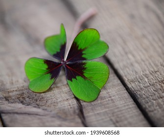 Luck bringer, clover on wooden background, isolated.