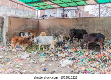 LUCKNOW, INDIA - FEBRUARY 3, 2017: Holy cows eating rubbish in Lucknow, Uttar Pradesh state, India