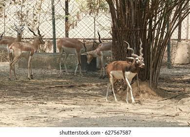 Lucknow Zoo/Deer/Blackbuck
