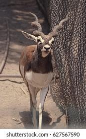 Lucknow Zoo/Deer/Blackbuck