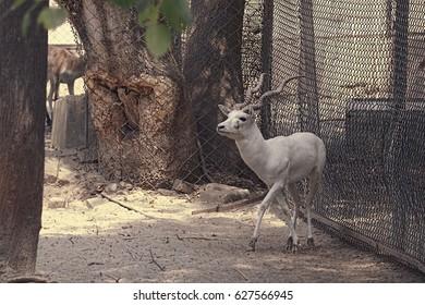 Lucknow Zoo/Deer/White Fallow deer