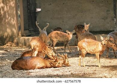 Lucknow Zoo/Gazella bennettii/Chinkara
