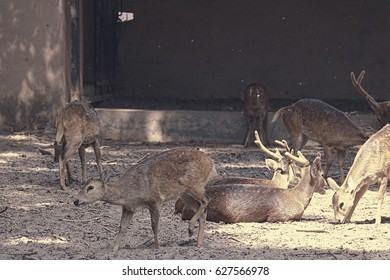 Lucknow Zoo/Hog Deer/Hog deer
