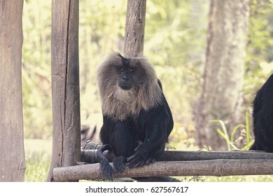 Lucknow Zoo/Indian Langur/Indian Langur