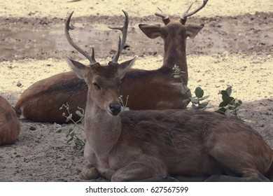 Lucknow Zoo/Swamp Deer/Barasingha