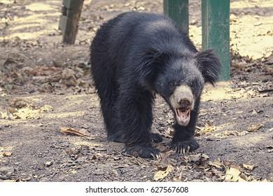 Lucknow Zoo/Ursus thibetanus/Himalayan Black Beer/