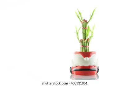 Lucky bamboo or Belgian evergreen isolated on white