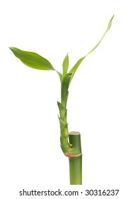 Lucky bamboo plant isolated on white background
