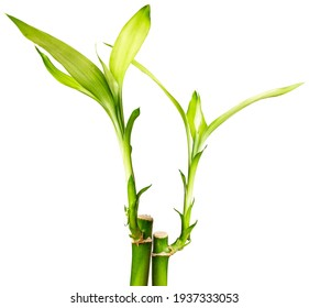 Lucky bamboo plants isolated on white background