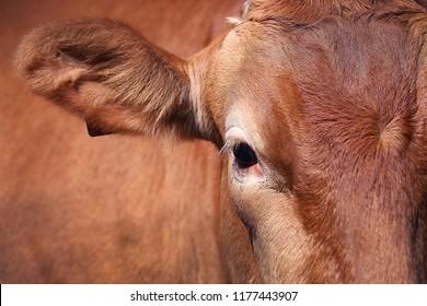 a lucky bull's face and eyes