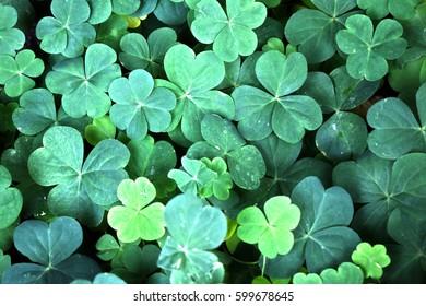Lucky Clover - Shutterstock ID 599678645