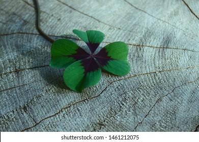 lucky clover on a tree trunk