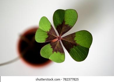 a lucky four-leaf clover in a pot