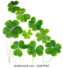 Lucky green clovers isolated on white