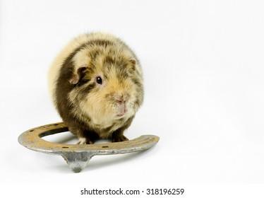 lucky guinea pig
