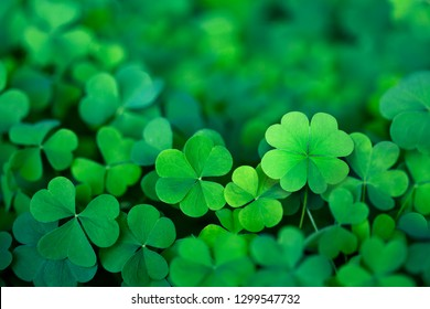 Lucky Irish Four Leaf Clover in the Field for St. Patricks Day