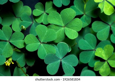 Lucky Irish Four Leaf Clover in the Field for St. Patricks Day holiday symbol. with three-leaved shamrocks.