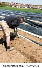 LUDWIGSBURG, GERMANY - MAY 5, 2016: A farmer is picking asparagus using a chisel on a field in spring sun. Since there is a lot of demand for asparagus during its season in April and May, a lot of