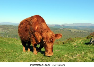 Luing cow on Gummers How  above Lake Windermere in the Lake District National Park