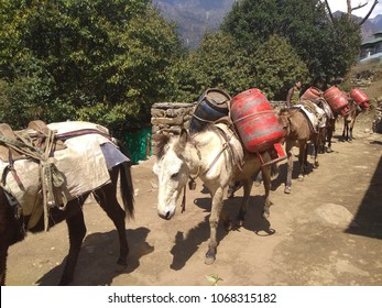 LUKLA, NEPAL 14th April 2018 : A group of mules carry cooking gas from lukla to phakding. This is the route to Everest Base Camp.