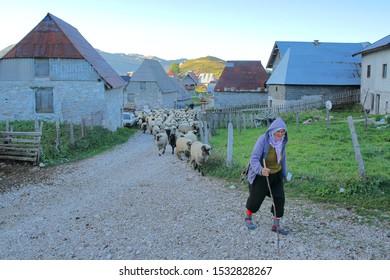 LUKOMIR, BOSNIA AND HERZEGOVINA - SEPTEMBER 17, 2019:  A shepherd herding flock of sheep early morning outside Lukomir village. Lukomir is Bosnia's highest village at 1469 meters