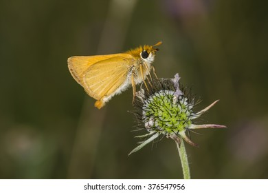 Lulworth Skipper butterfly (Thymelicus acteon) from Lower Saxony, Germany