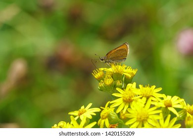 Lulworth Skipper (Thymelicus acteon)  butterfly