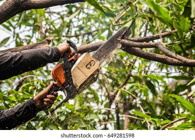 Lumberjack in a black shirt sawing a chainsaw on mango tree.