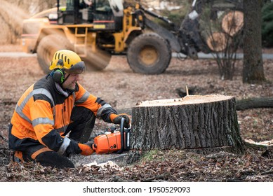 Lumberjack with chainsaw is shortening  a stump of sawed linden tree in linden alley. Removing diseased tree. In the bokeh background is Forest machine, that take away sawed trunk.