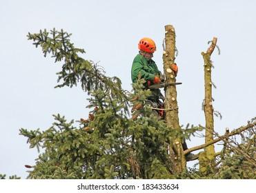 lumberjack in the fir tree top, cutting down a tree