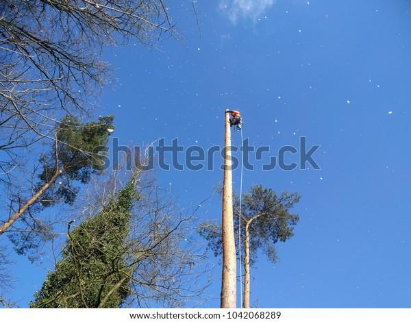 lumberjack in forestry gear sawing a fir tree, roped in a treetop , sawdust is falling down