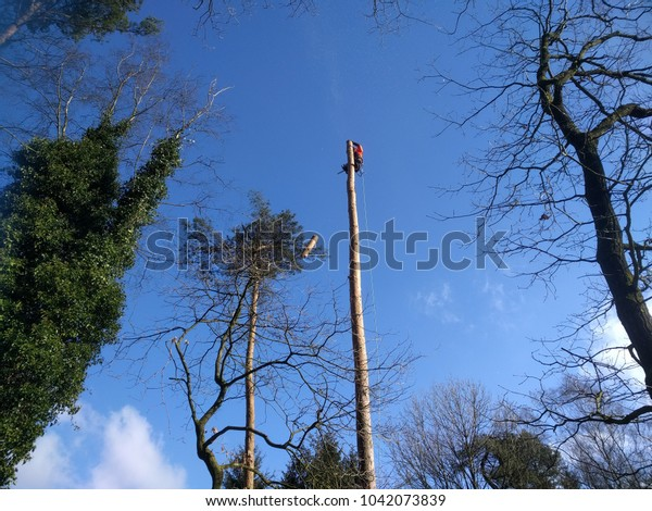 lumberjack in forestry gear sawing a fir tree, roped in a treetop, log is falling down
