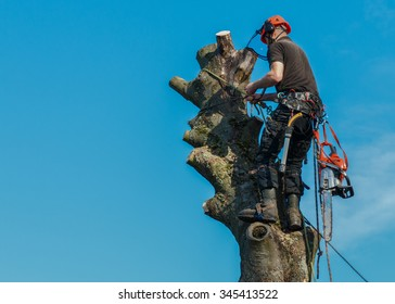 Lumberjack roped working at the top of a tree.  He is tied by safety lines to the tree and has a chainsaw hanging from his belt.  The tree is being felled.