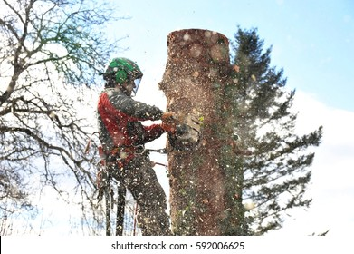 Lumberjack at Work at a Spruce Tree with Chain Saw and Backup Rope
