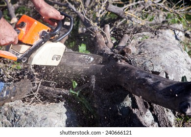 Lumberjack worker cutting holm oak firewood with a chainsaw