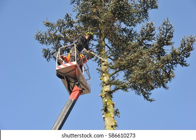 Lumberjacks at Work at a high Spruce Tree