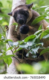 Lumholtz's Tree-kangaroo (Dendrolagus lumholtzi) in National park in the Atherton Tablelands, Queensland, Australia.