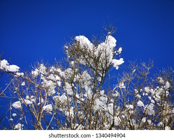 Lumps of snow and ice stuck on branches on tree towards beautiful clear blue sky at winter