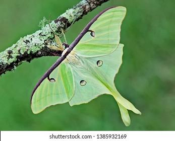 Luna Green Velvet Moth on Tree Branch