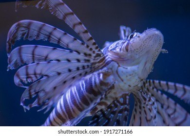 Luna lion fish swimming in the  water. Soft focus, selective focus