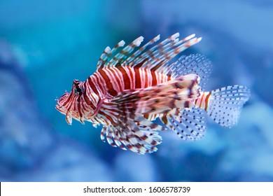 Luna lionfish (Pterois lunulata). Luna lion fish swimming in the blue water. Soft focus, selective focus