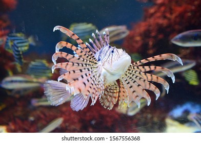 Luna lionfish (Pterois lunulata) swimming around the sand bed. Luna lion fish hovering in the deep water.